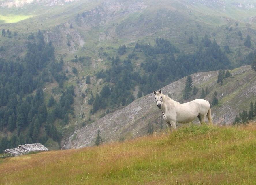 Фото лошади албанской (мизекейской) породы серой масти