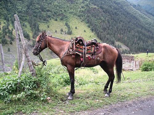 Фото лошади албанской (мизекейской) породы гнедой масти