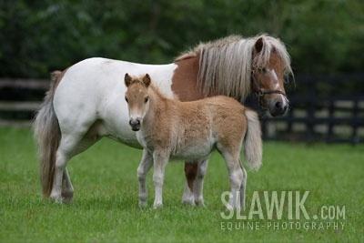 Маленькая лошадь в мире фалабелла