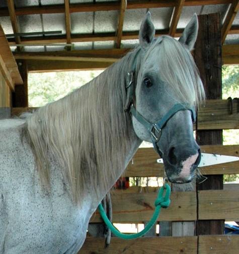 Фото лошади породы флоридский крэкер серой масти
