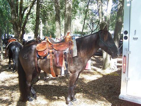 Фото лошади породы флоридский крэкер шампанской масти