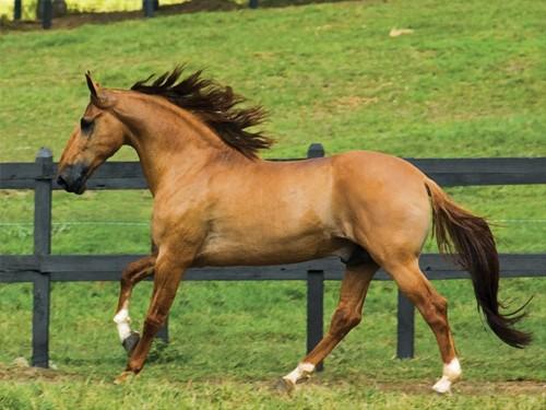 Фото лошади породы камполина рыжей масти