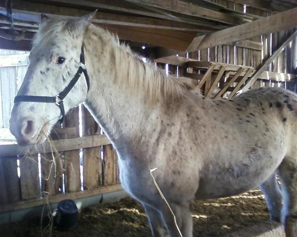 Фото лошади породы Уокалуза (Walkaloosa Horse) чубарой масти