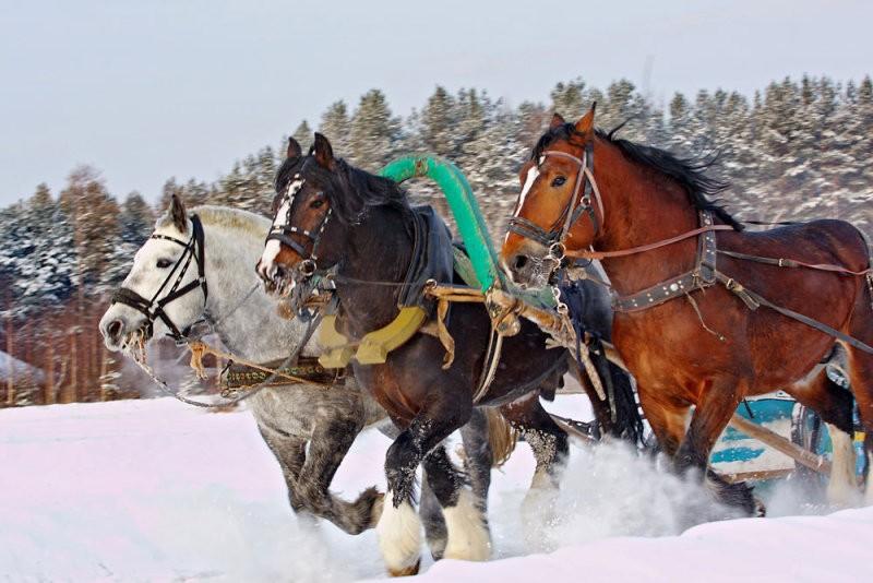 Фото Лошадей Тяжеловозов Красивые