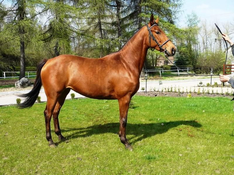 Фото лошади малопольской породы гнедой масти