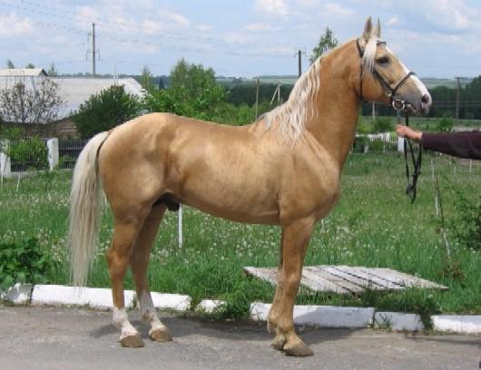 Фото лошади торийской породы соловой масти