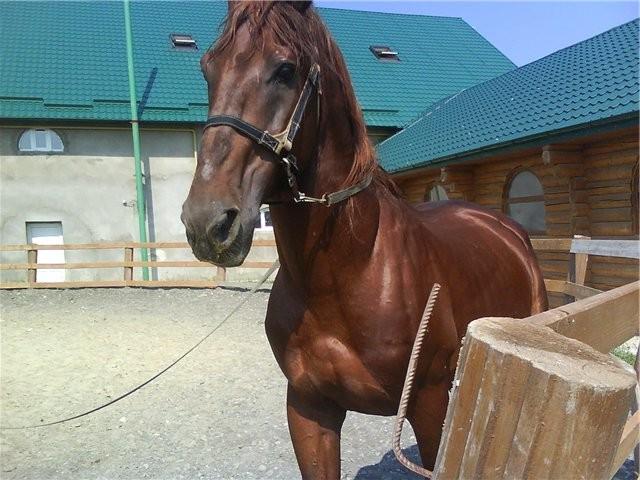 Фото лошади торийской породы рыжей масти