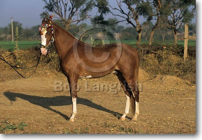 Фото лошади индийской полукровной породы рыжей масти