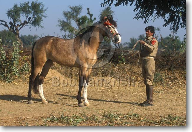 Фото лошади индийской полукровной породы буланой масти