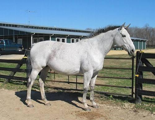 Фото лошади абтенайской породы серой масти
