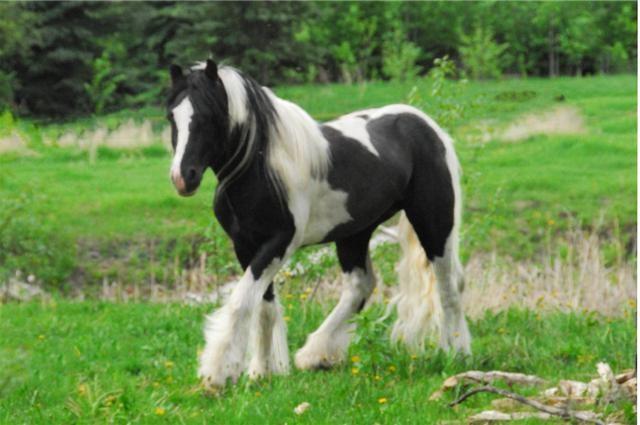 Фото лошади породы драмхорс вороно-пегой масти