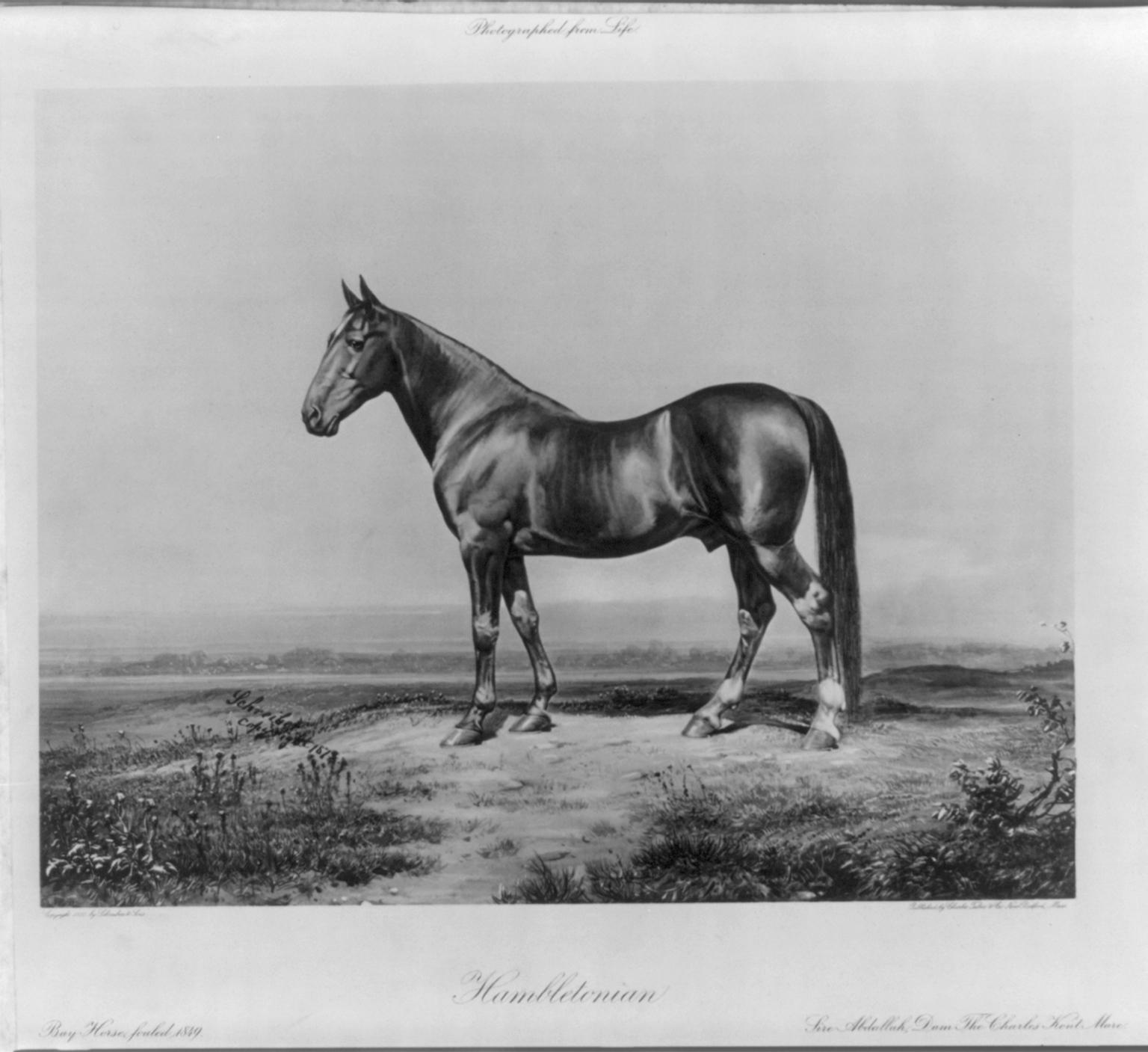 Фоторгафия лошади по кличке Гамблетониан