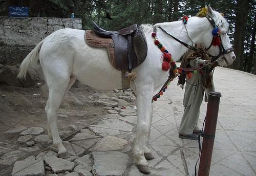 Фото белуджистанской лошади серой масти