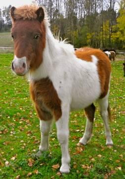 шетлендский пони фото