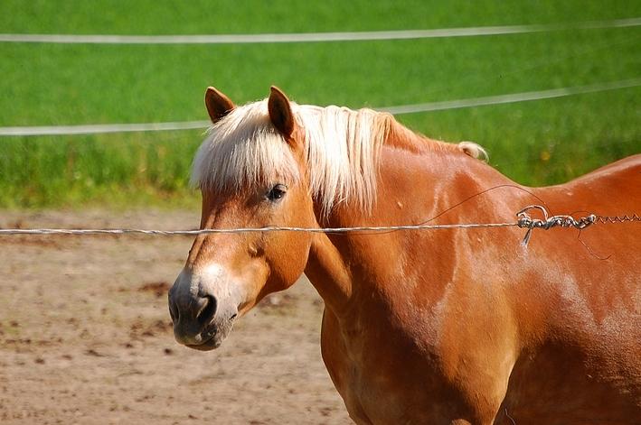 Фото лошади финской породы игреневой масти