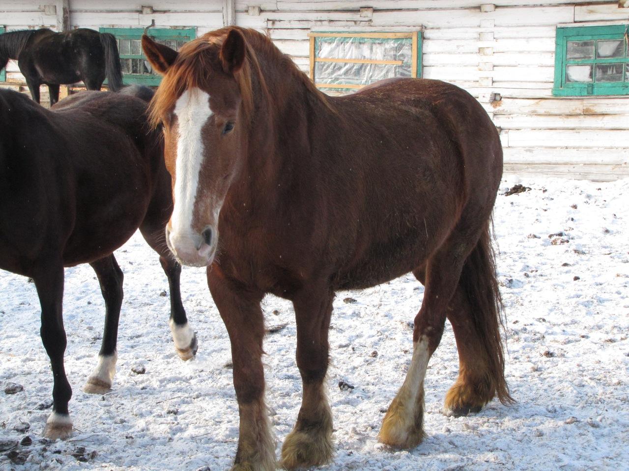 тяжеловоз порода лошадей фото и название