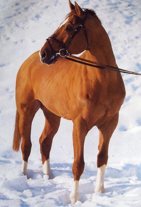 Фото лошади буденновской породы