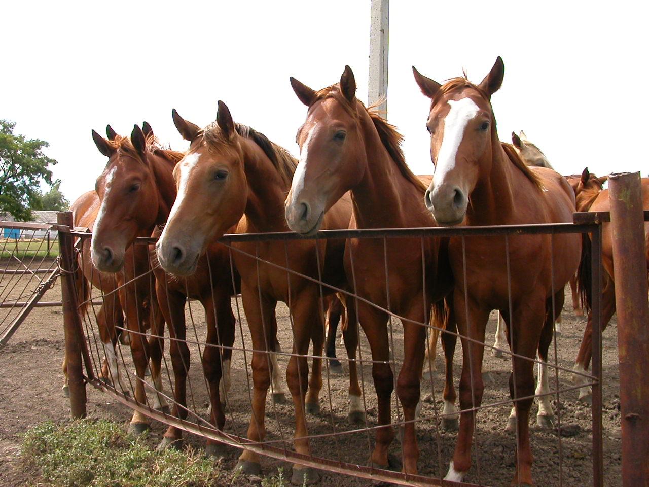 Фото лошадей буденновской породы