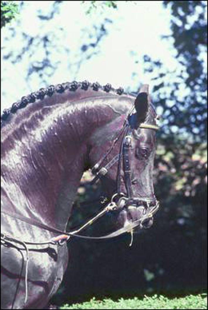 Фото лошади по кличке Rubinstein (Рубинштейн)