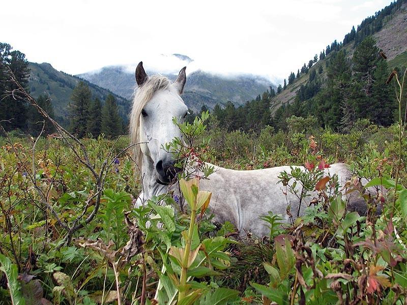 Фото лошади алтайской породы серой масти