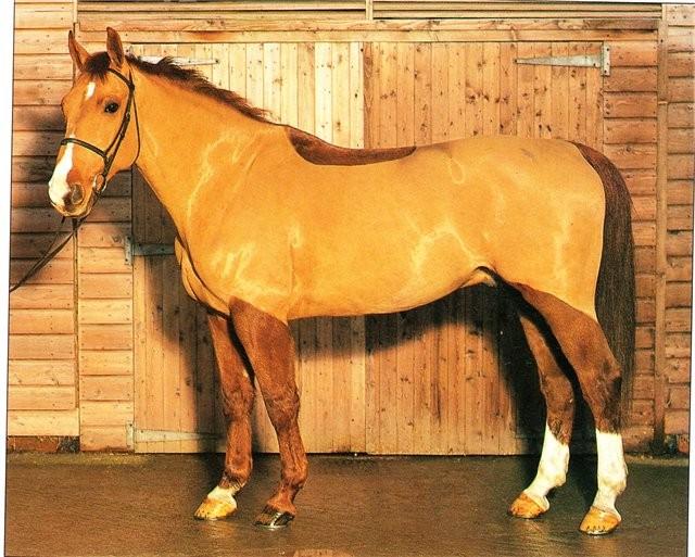 Фото лошади фредериксборгской породы рыжей масти