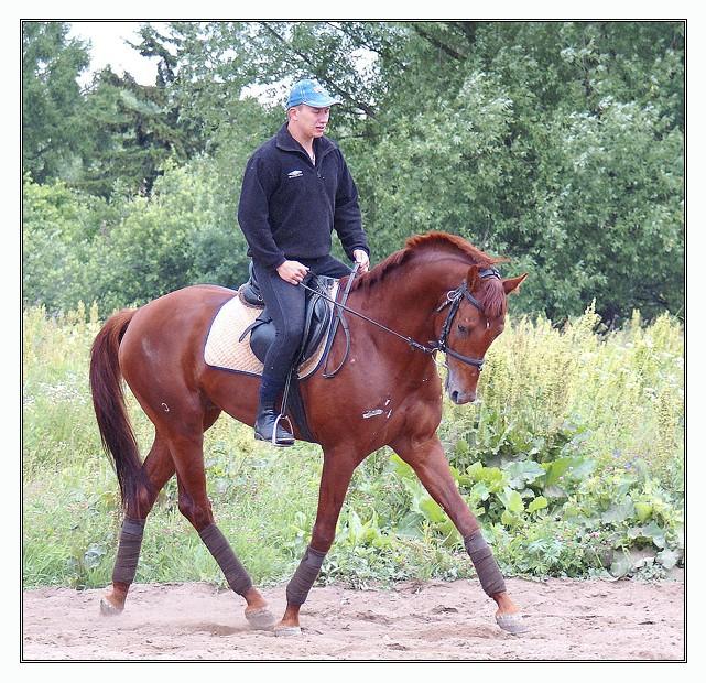 Фото лошади буденновской породы рыжей масти