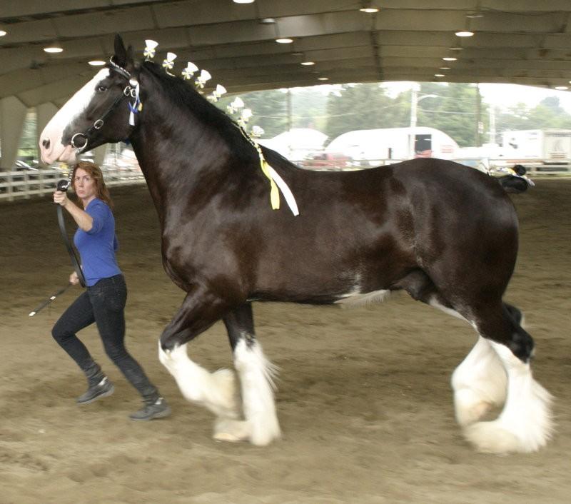 Фото лошади породы шайр бурой масти