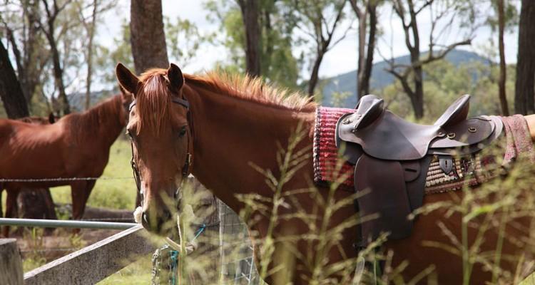 Фото лошади австралийской пастушьей породы рыжей масти