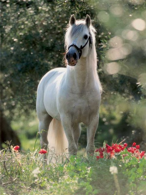 Фото лошади андалузской породы серой масти