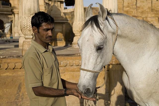 Фото лошади породы катхиавари серой масти