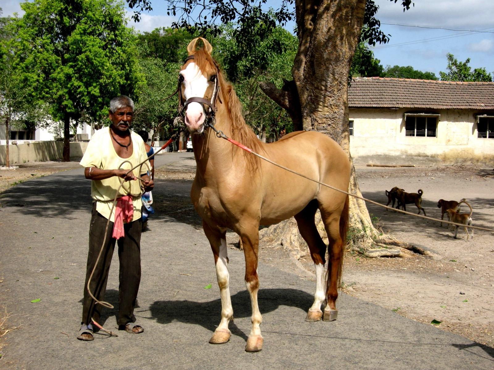 Фото лошади породы катхиавари рыжей масти