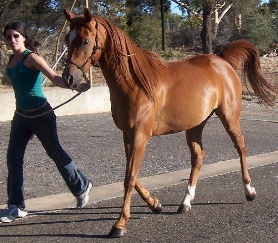 Фото англо-арабской лошади рыжей масти