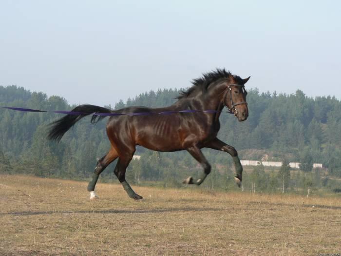 Фото англо-арабской лошади бурой масти