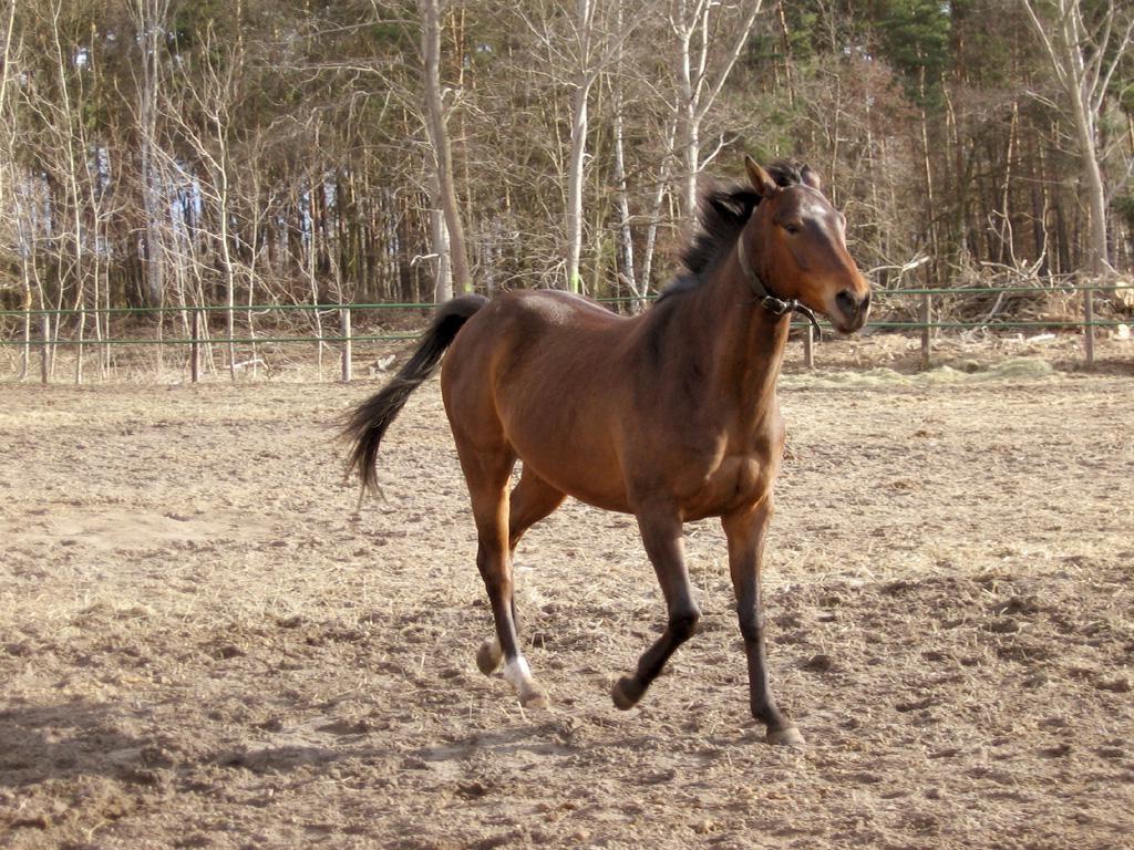 Фото англо-арабской лошади гнедой масти