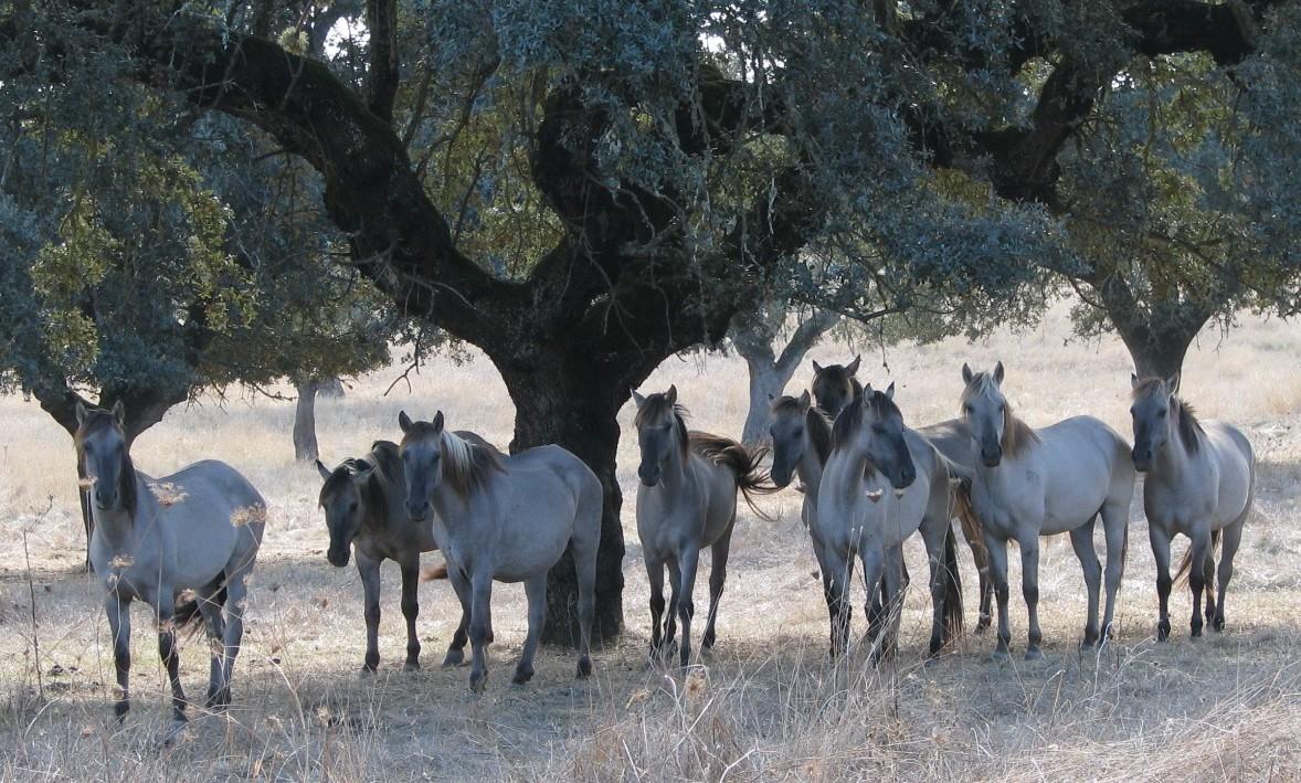 Фото табуна лошадей породы соррайа