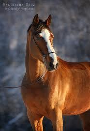 Фото лошади голландской теплокровной породы гнедой масти