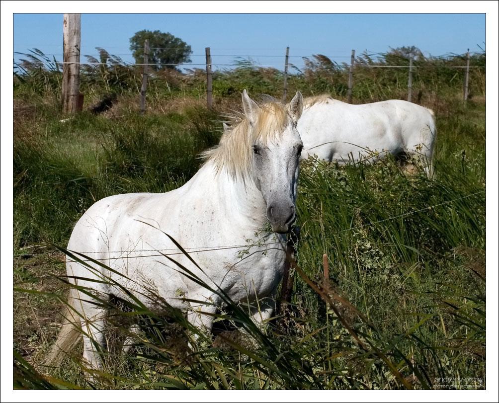 Две белые лошади