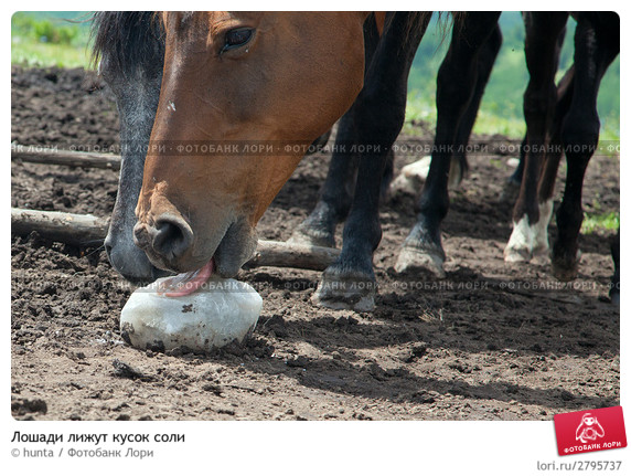 Лошади лижут соль