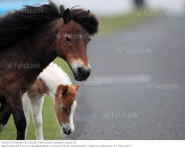 Фото дартмурского пони