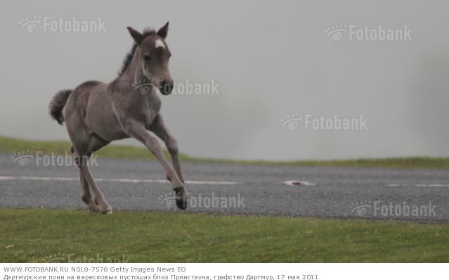 Фото жеребенка дартмурского пони