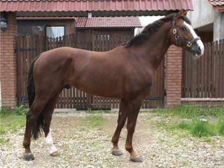Фото лошади голландской теплокровной породы рыжей масти