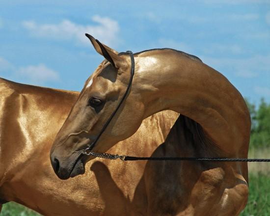 Фото лошади ахалтекинской породы золотисто-буланой масти