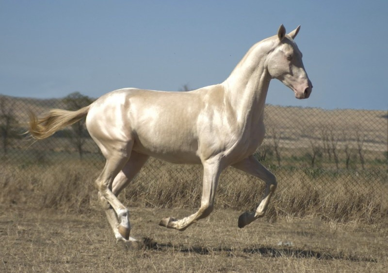 Фото лошади ахалтекинской породы изабелловой масти