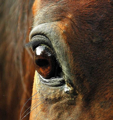 Фото глаза лошади