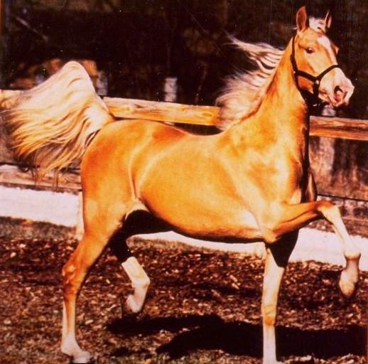 Фото американской верховой лошади соловой масти