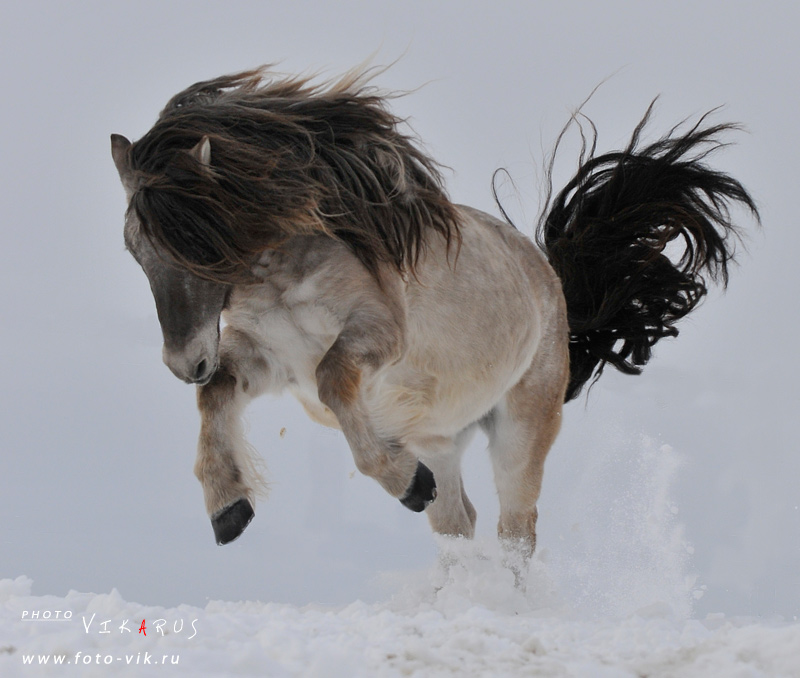 Фото якутской лошади
