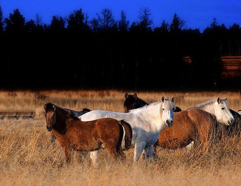 Фото якутских лошадей