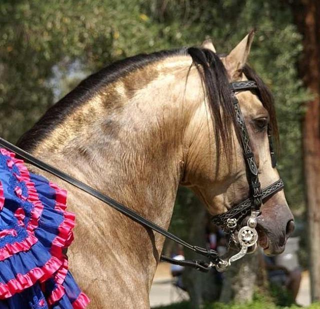 Фото лошади ацтекской породы буланой масти