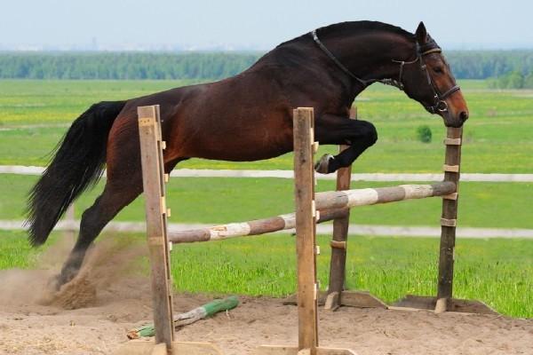 Фото лошади темно-гнедой масти голштинской породы