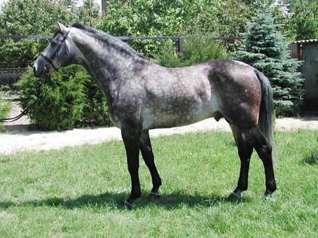Фото лошади серой в яблоках масти голштинской породы